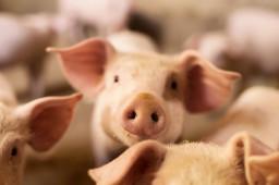商務部會同相關部門投放10000噸中央儲備豬肉