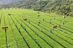 福建:安溪铁观音位列中国区域品牌价值榜首